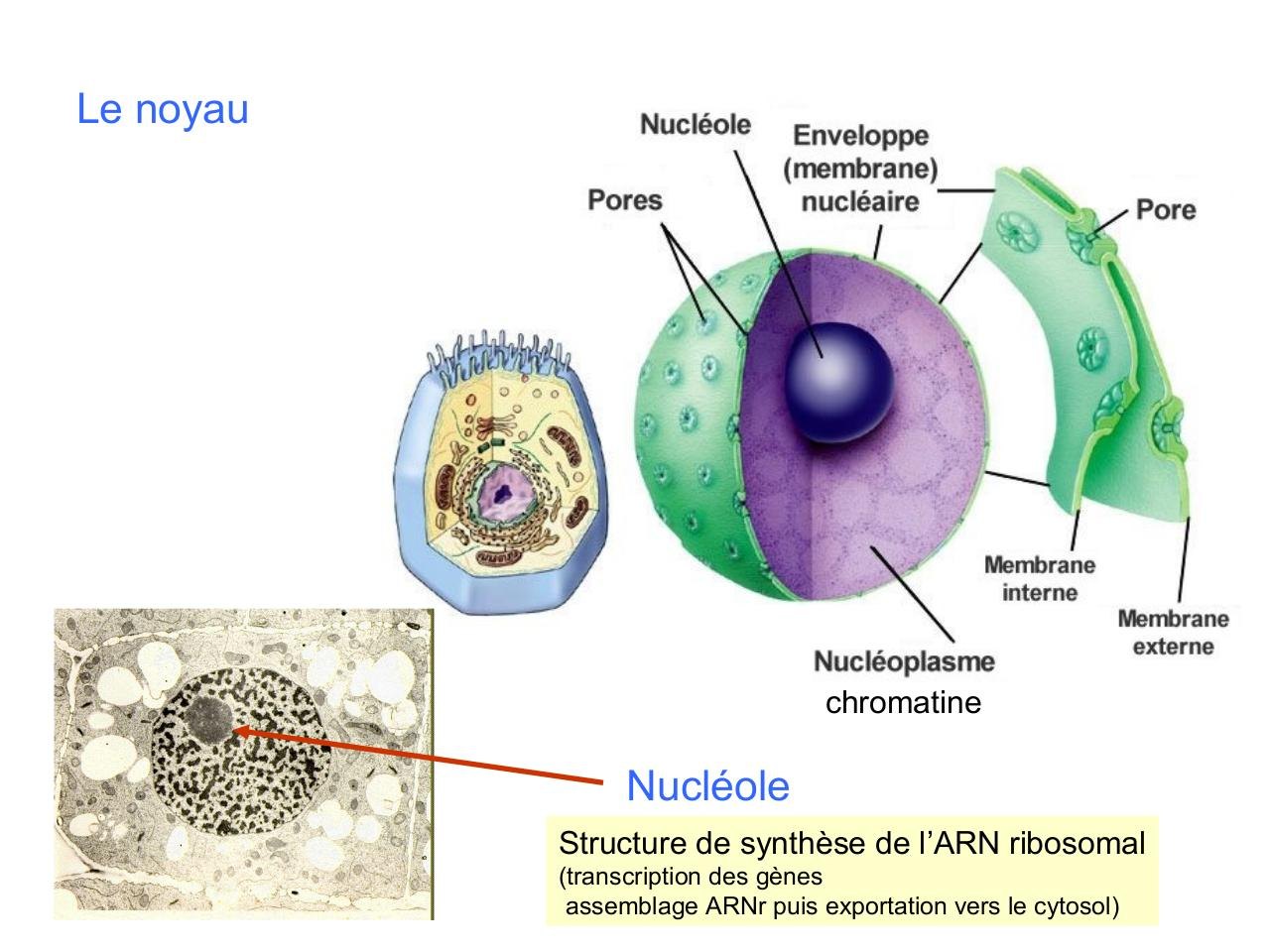cours IFSI 2 Les organites intracellulaires.pdf - page 3/73