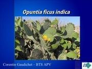 opuntia ficus indica english presentation