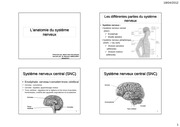 systeme nerveux anatomie as