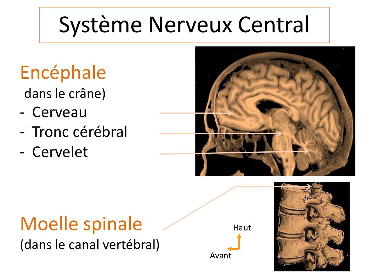 Diapositive 1 par Elizabeth - Anatomie-Systeme-Nerveux-partie-1 ...