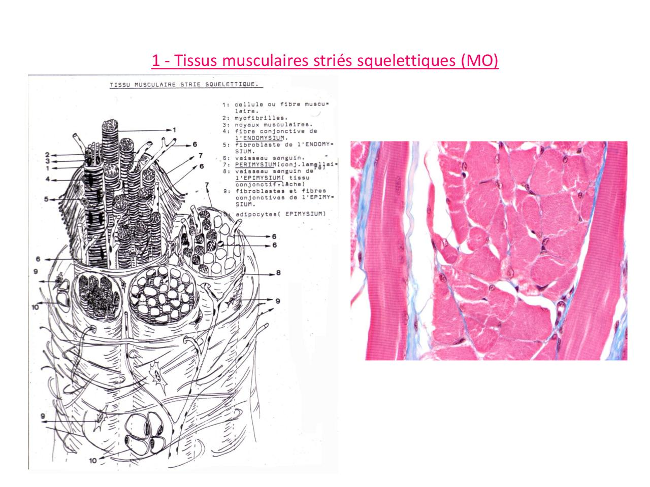 TP8-t-musculaires.pdf - page 3/27