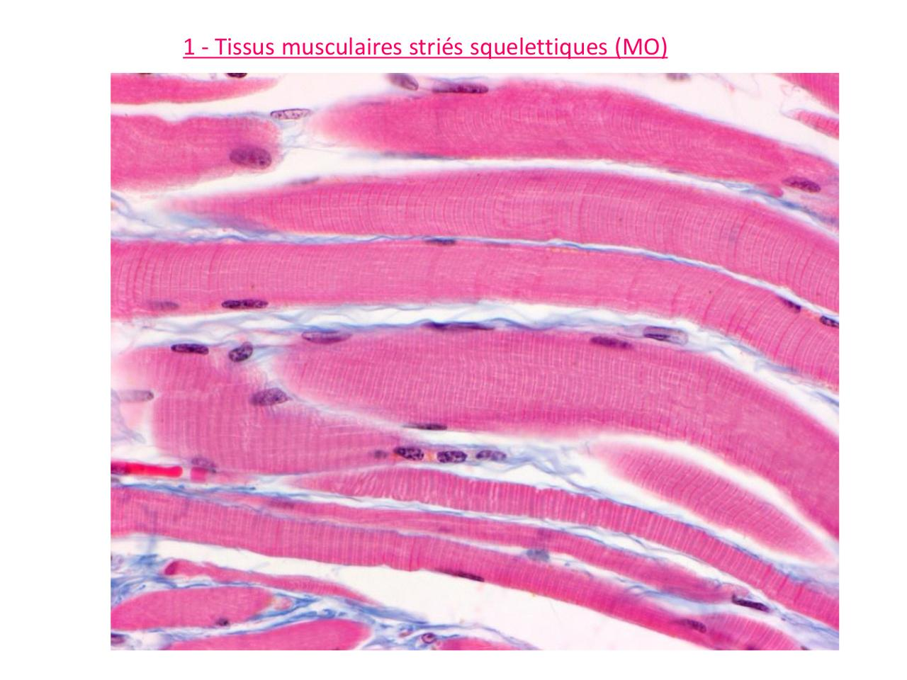TP8-t-musculaires.pdf - page 4/27