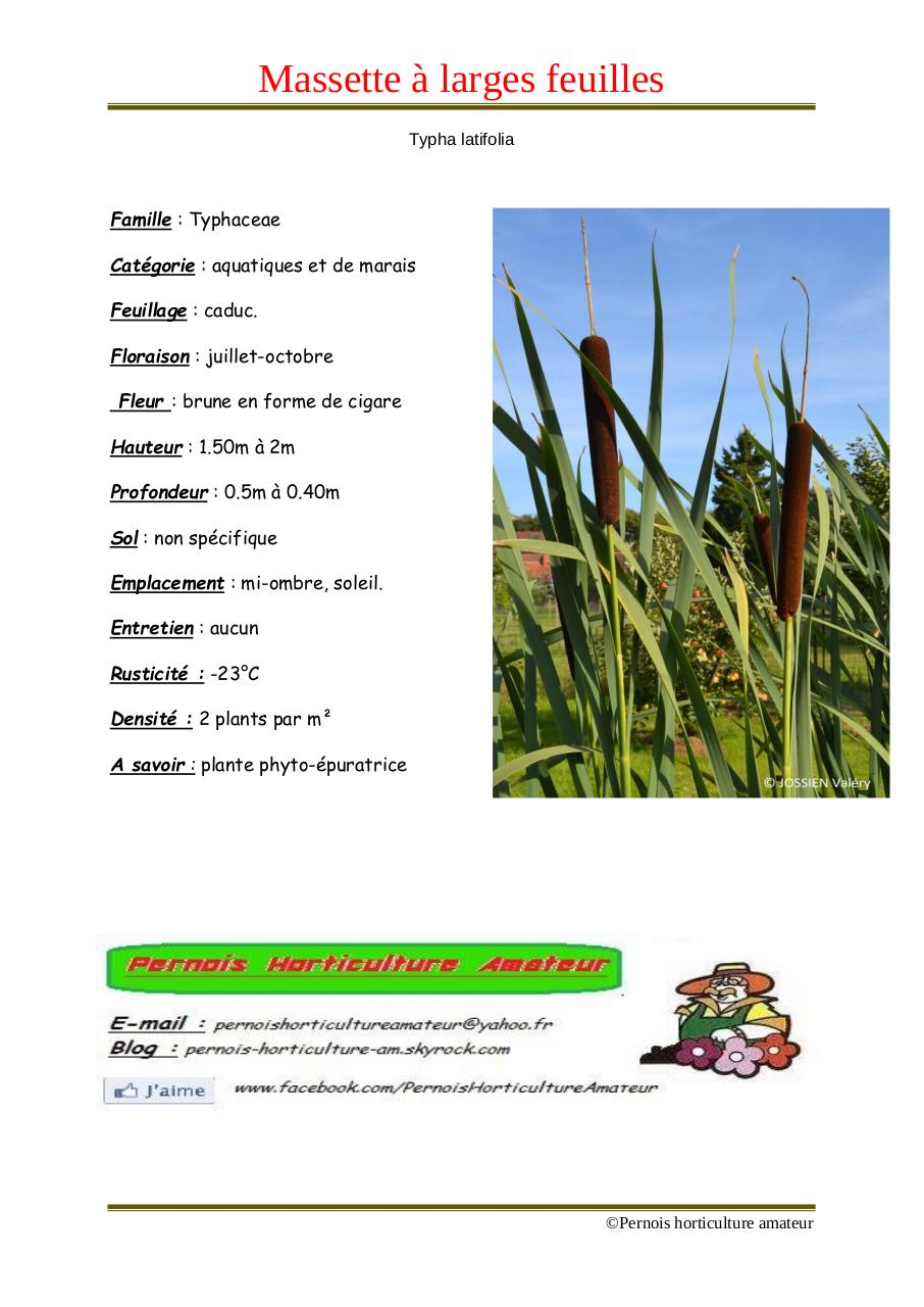 Aperçu du document Typha latifolia.pdf - page 1/1