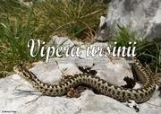 vipera urinii
