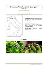 acanthobrahmaea europaea