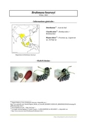 brahmaea hearseyi