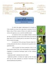 14 mouche de l olive