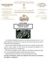 oidium sur vigne