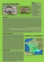 natrix maura couleuvre viperine