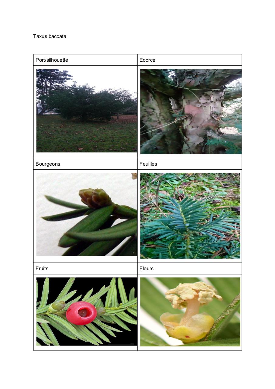 Taxus baccata.pdf - page 1/2